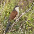 Burchell's Coucal — Stock Photo