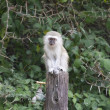 Vervet monkey — Stock Photo #10346275