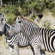 Zebra meeting — Stock Photo