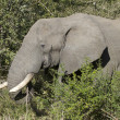 Stock Photo: Elephant in bush, side view