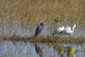 Wading birds — Stock Photo