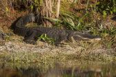 Alligator Sunbathing — Stock Photo