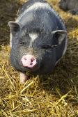 любопытно свинья — Стоковое фото