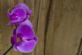 Purple orchid close up — Stock fotografie