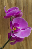 Purple orchid close up — Stock Photo