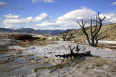 Alberi morti in mammoth hot spring — Foto Stock