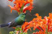 Collared Sunbird posing — Stock Photo