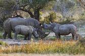 Rhinoceroses family — Stock Photo