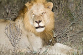 Lion resting — Stock Photo