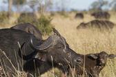 Buffalo and Oxpecker — Stock Photo