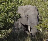 Elephant in bush, front view — Stock Photo