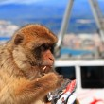 Постер, плакат: Macaques Gibraltar