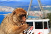 Macaques, Gibraltar — Stock Photo