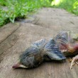 Stock Photo: Dead Baby Robin Lying on Wooden Board