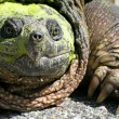 Stock Photo: Common Snapping Turtle (Chelydrserpentina)