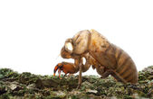 Cicada (Cicadidae) Skin clinging to a Tree — Stock Photo
