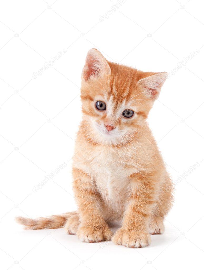 Orange kitten white background