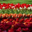 Tulips in park — Stock Photo