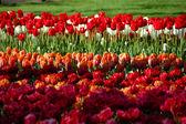 Tulips in park — Stock Photo