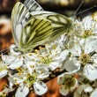 Two butterflies mating on a flower — Stock Photo