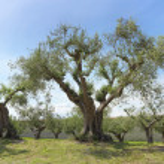 Olive grove — Stock Photo #10407423