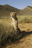 Cheetah sitting — Stock Photo