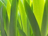 Iris leafs — Stock Photo