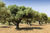 Olive tree orchard near Kardamena — Stock Photo