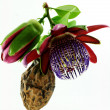 Passiflora. - Stock Photo