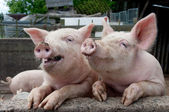 Funny Pigs being silly — Stock Photo