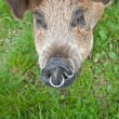 Stock Photo: Pig snout