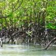 Mangrove thickets — Stock Photo