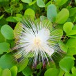 Barringtonia asiatica flower — Foto Stock