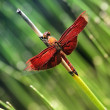 Dragonfly — Stock Photo #10699479