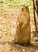 Vigilant prairie dog — Stock Photo