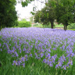 Expanse of iris flowers — Stock Photo