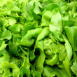 Fresh lettuce - Stock Photo