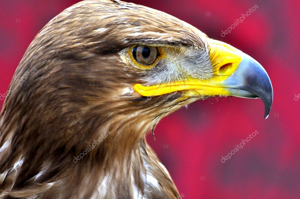 Head of eagle watching its prey  Stock Photo #10624440