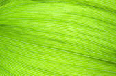 Green leaf fibres — Stock Photo