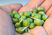 Germinated green peas — Stock Photo