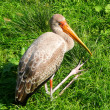 Foto Stock: Juvenile yellow-billed stork