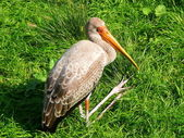 Juvenile yellow-billed stork — Stock Photo