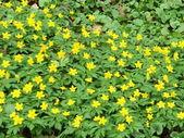 Yellow anemone — Stock Photo