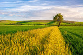 Wheat Field with a Tree — Stock Photo