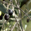 Olives on a Branch - Stock Photo
