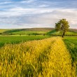 Yellow Wheat Stripe - Stock Photo