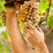 Farmers Hands Cutting Grapes - Stock Photo