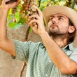 Farmer Cutting Grapes - Stock Photo