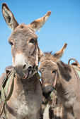 A few donkeys — Foto de Stock