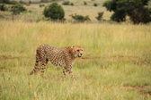 African cheeta in gras — Stock Photo
